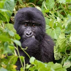 Gorilla_web