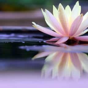 Lotus-Blossom_web