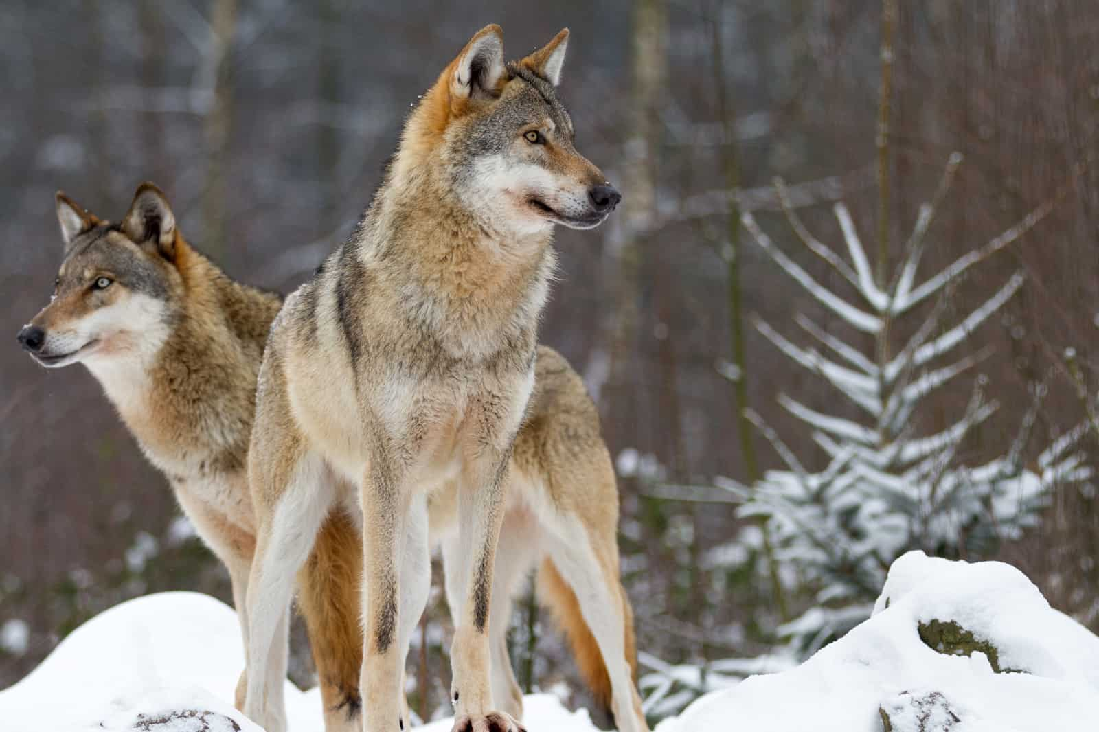 Two Wolves - Course Materials | Free Training Course, UK, Online | Trainer Bubble