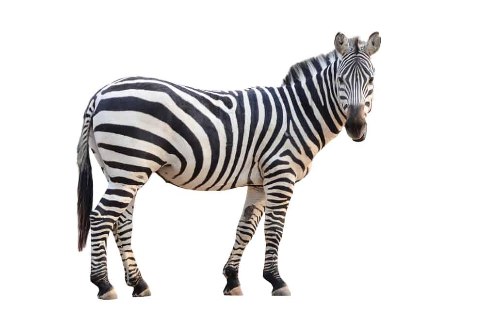 zebra - energiser